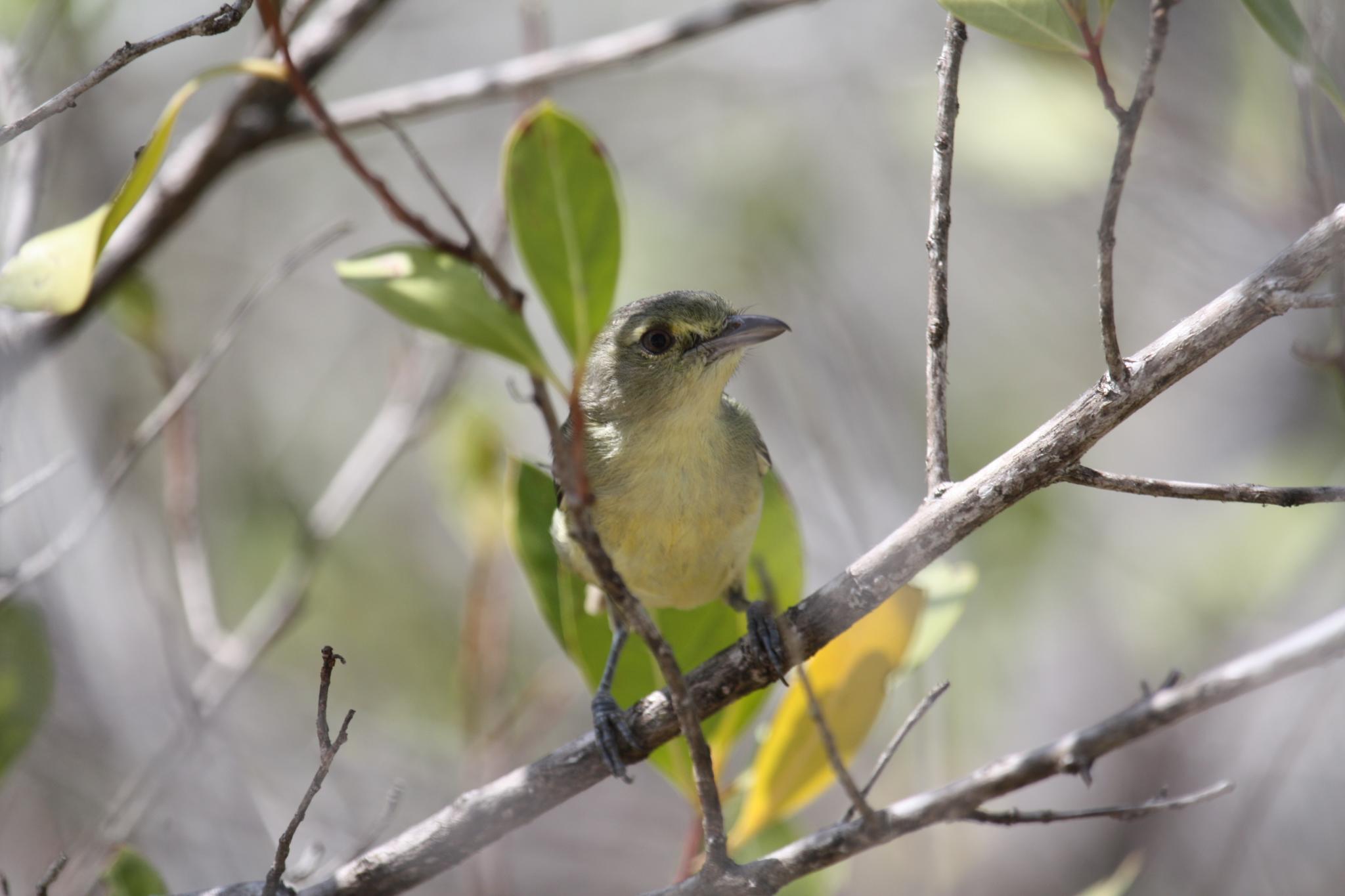 Image of Mangrove Vireo