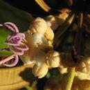 Image of <i>Miconia holosericea</i> (L.) DC.