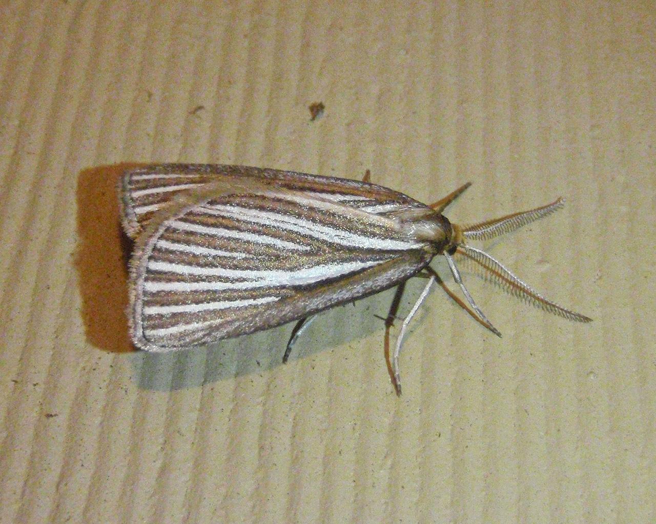 Image of <i>Amelora oritropha</i> Turner 1919