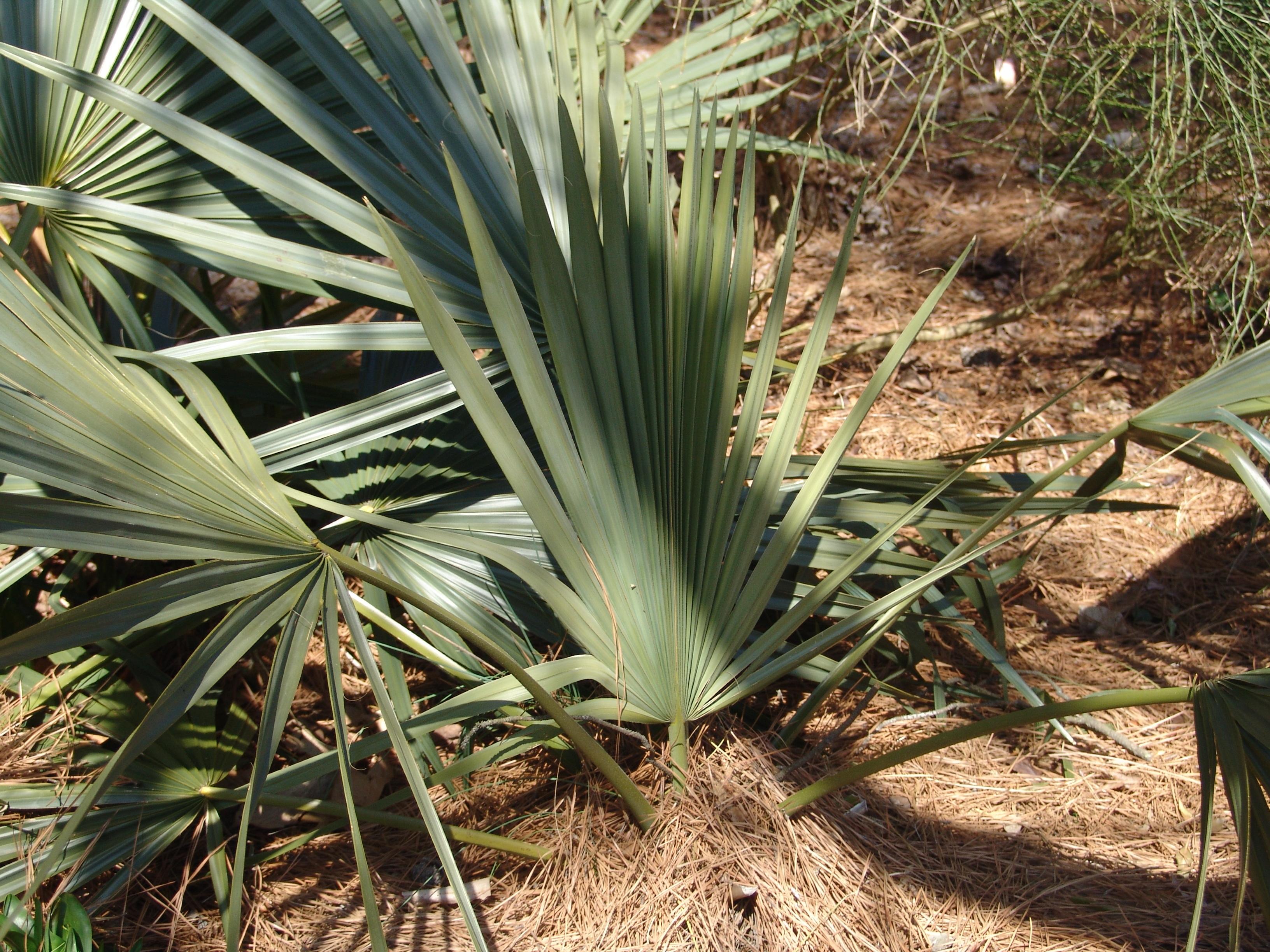 Image of dwarf palmetto