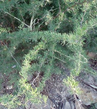 Image of <i>Asparagus albus</i> L.