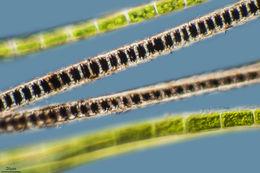 Image of <i>Bangia atropurpurea</i>