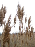 Image of common reed