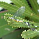 Image of <i>Chasmoptera hutti</i>