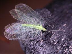 Image of <i><i>Ankylopteryx</i></i> (Ankylopteryx) <i>rieki</i> New 1980