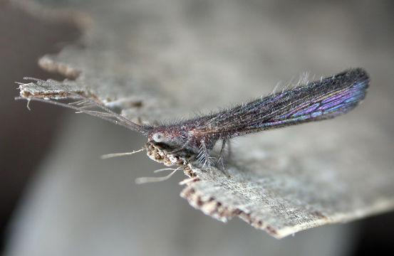 Image of Stenobiella