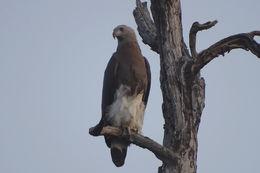 Image of Gray-headed Fish-Eagle