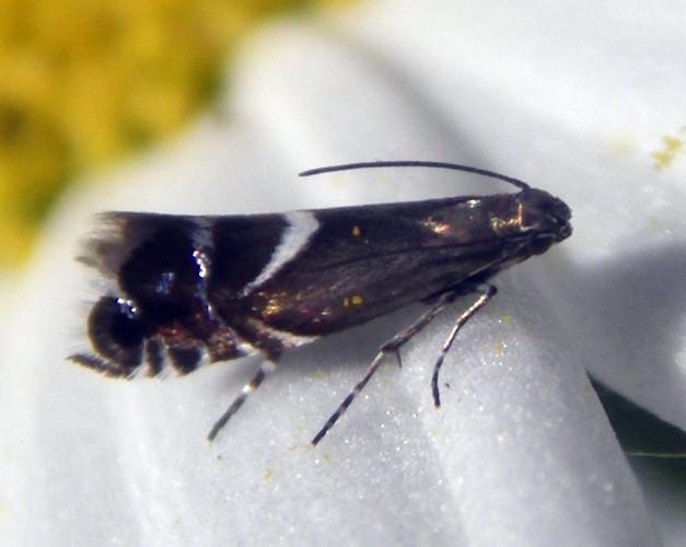 Image of <i>Glyphipterix gianelliella</i> Ragonot 1885