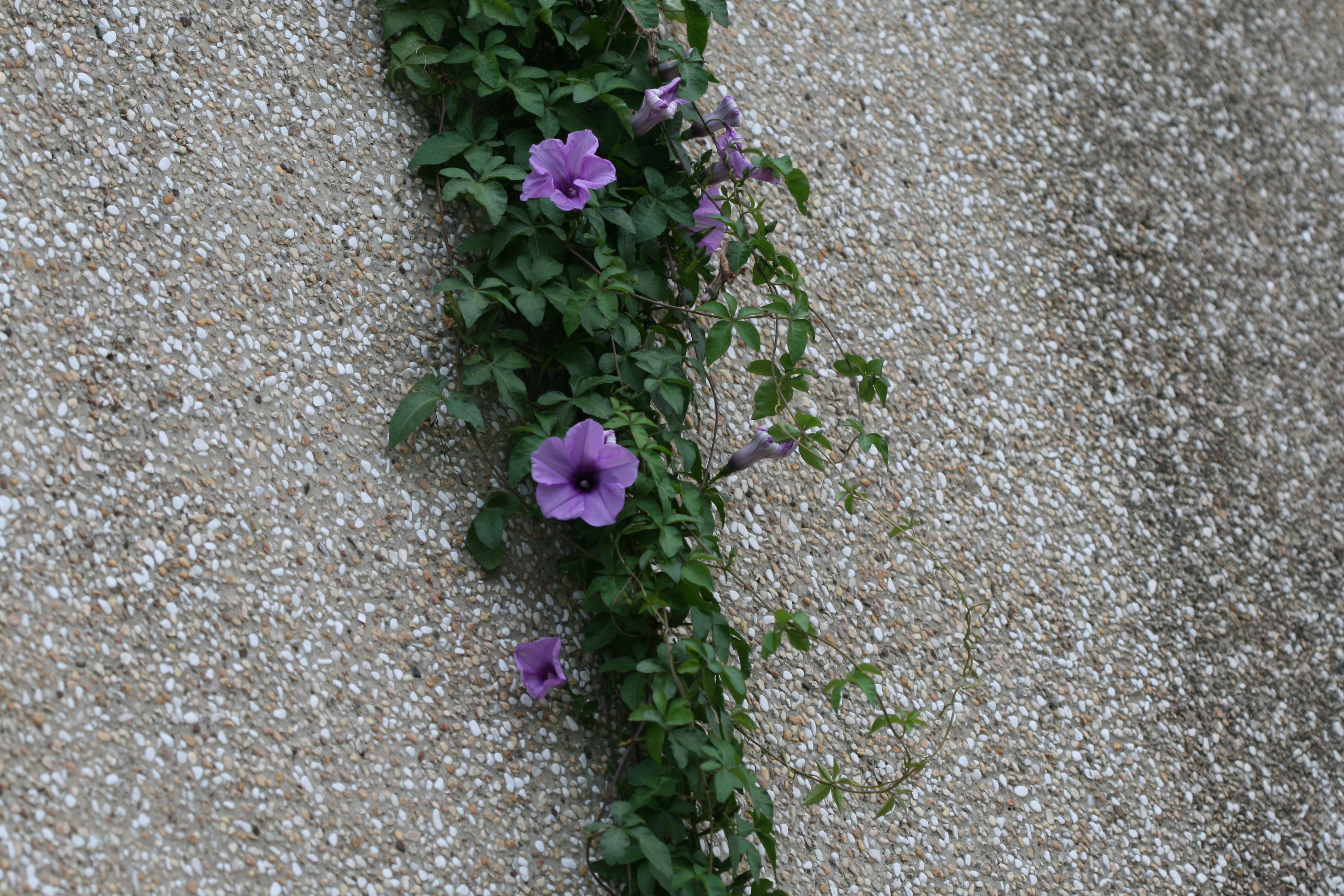 Image of <i>Ipomoea carica</i>