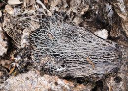 Image of <i>Opuntia lindheimeri</i>