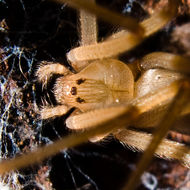 Image of Desert Recluse
