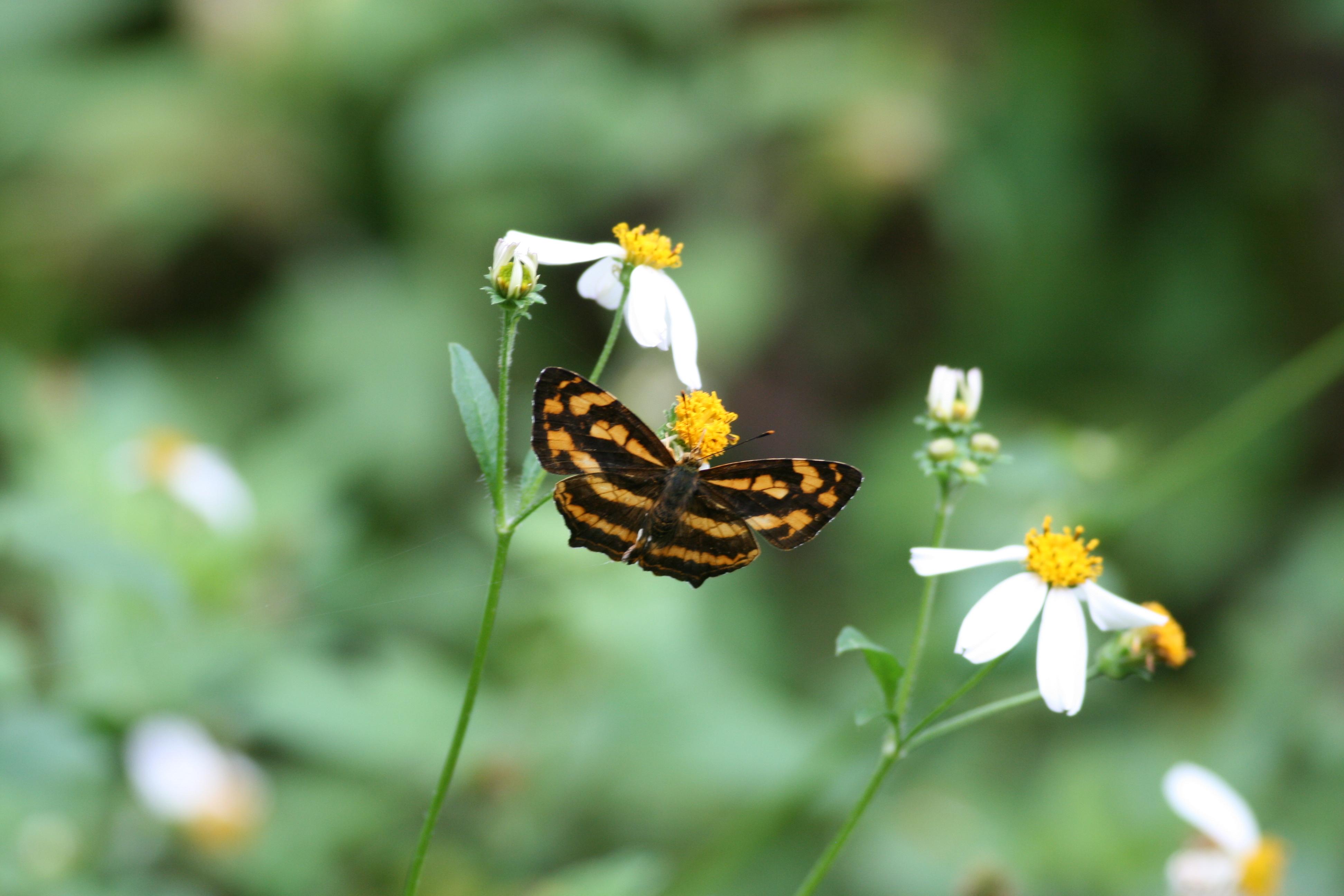 Image of <i>Symbrenthia hypselis scatinia</i>