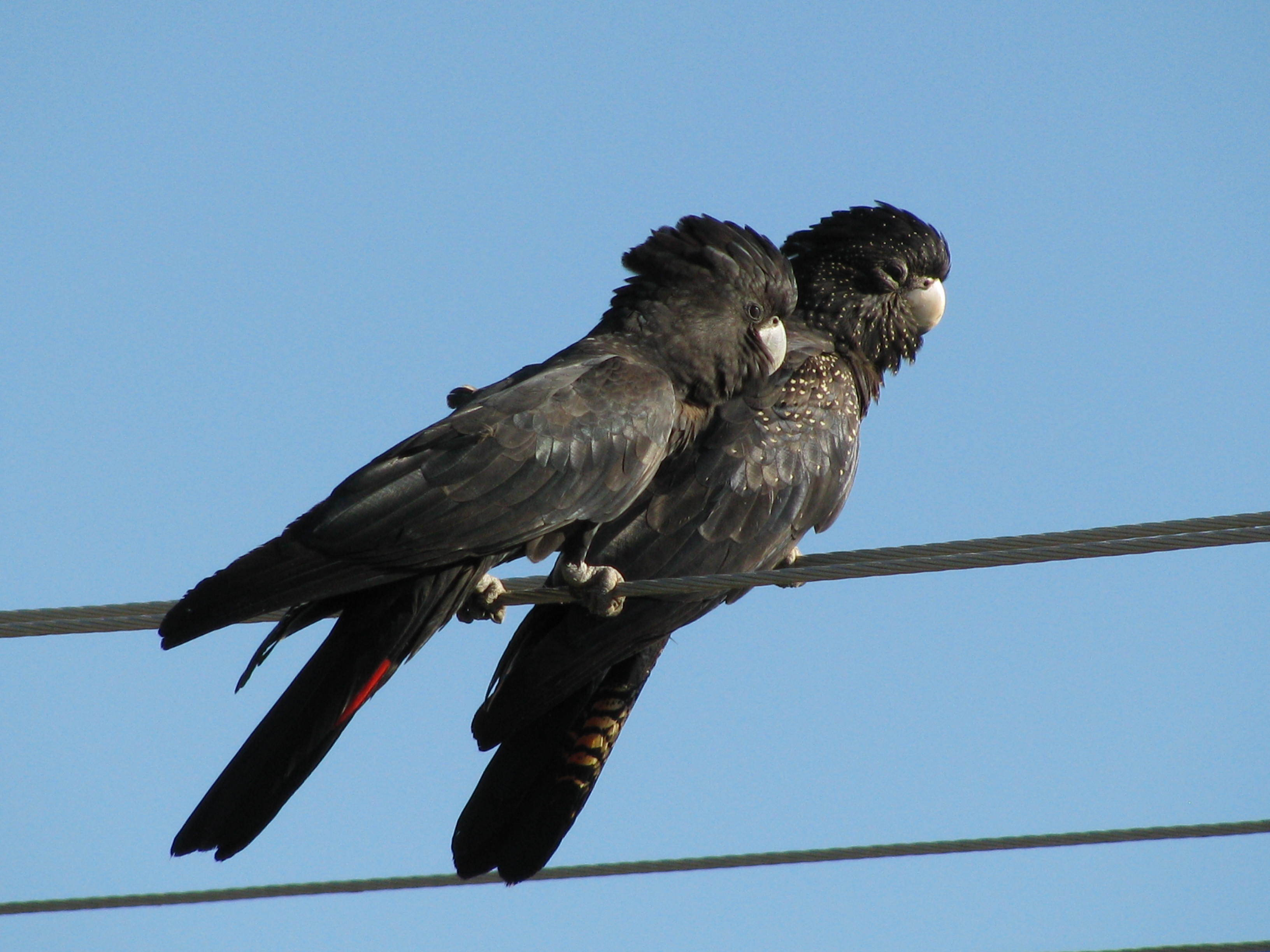 Image of Red-tailed Black-Cockatoo