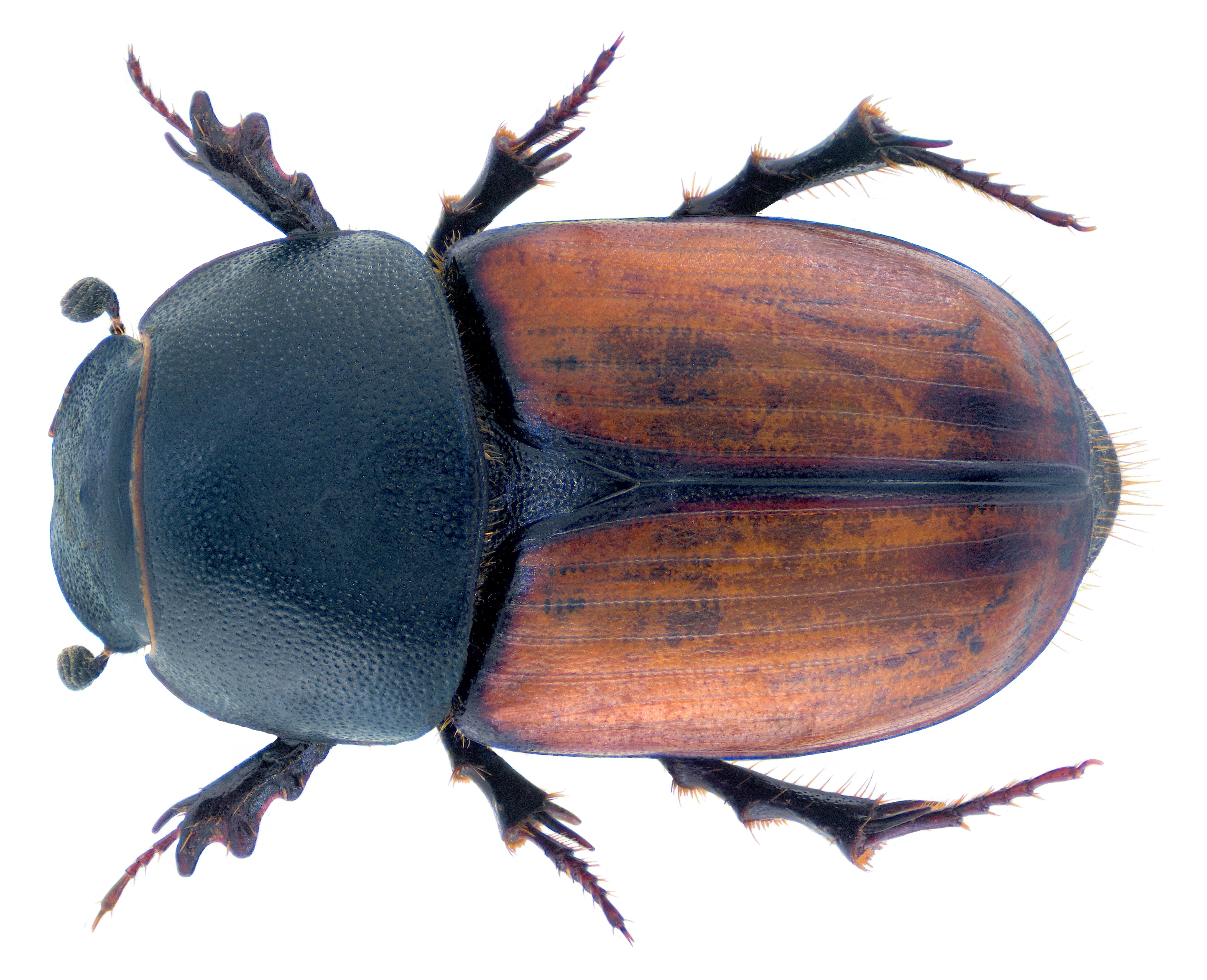 Image of <i>Colobopterus brignolii</i> (Carpaneto 1973)