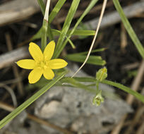 Image of common goldstar
