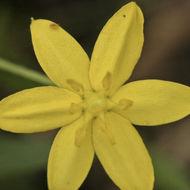 Image of common goldstar