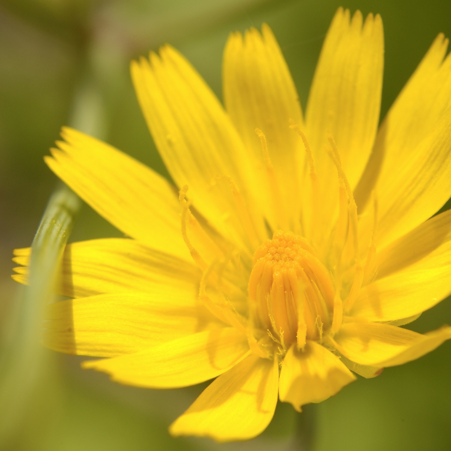 Image of twoflower dwarfdandelion