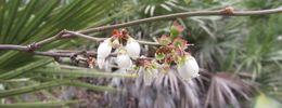 Image of highbush blueberry