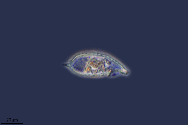 Image of <i>Pseudocorythium acutum</i>