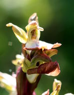 Image of <i>Orchis collina</i>