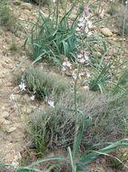 Image of <i>Asphodelus ayardii</i> Jahand. & Maire