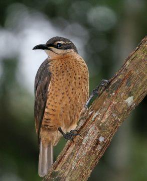 Image of Victoria's Riflebird