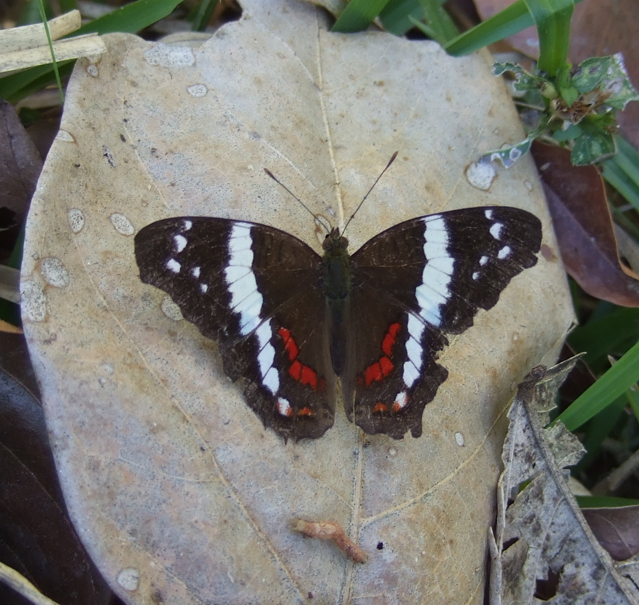 Image of Banded Peacock