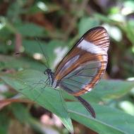 Image of <i>Dismorphia theucarila</i>