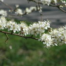 Image of sloe, blackthorn