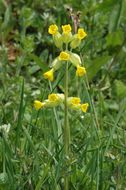 Image of Cowslip