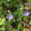 Image of lesser periwinkle