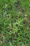 Image of European cornsalad