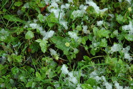 Image of Moschatel