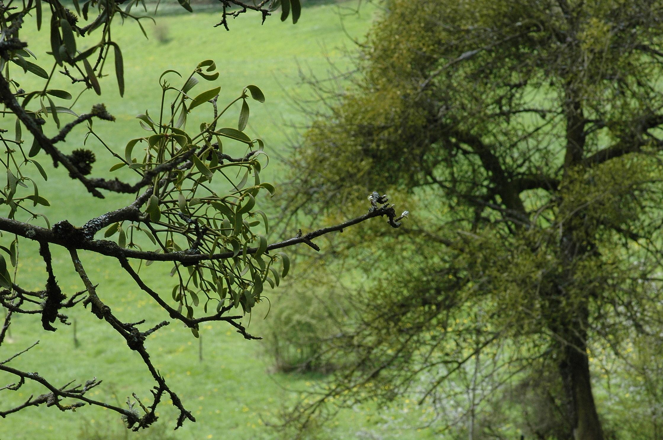 Image of European mistletoe