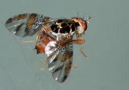 Image of Mediterranean fruit fly