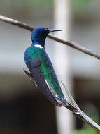 Image of Oiseau-mouche-a-collier