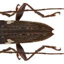 Image of <i>Falsepilysta laterimaculata</i> (Heller 1924)
