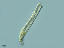 Image of Condylostoma