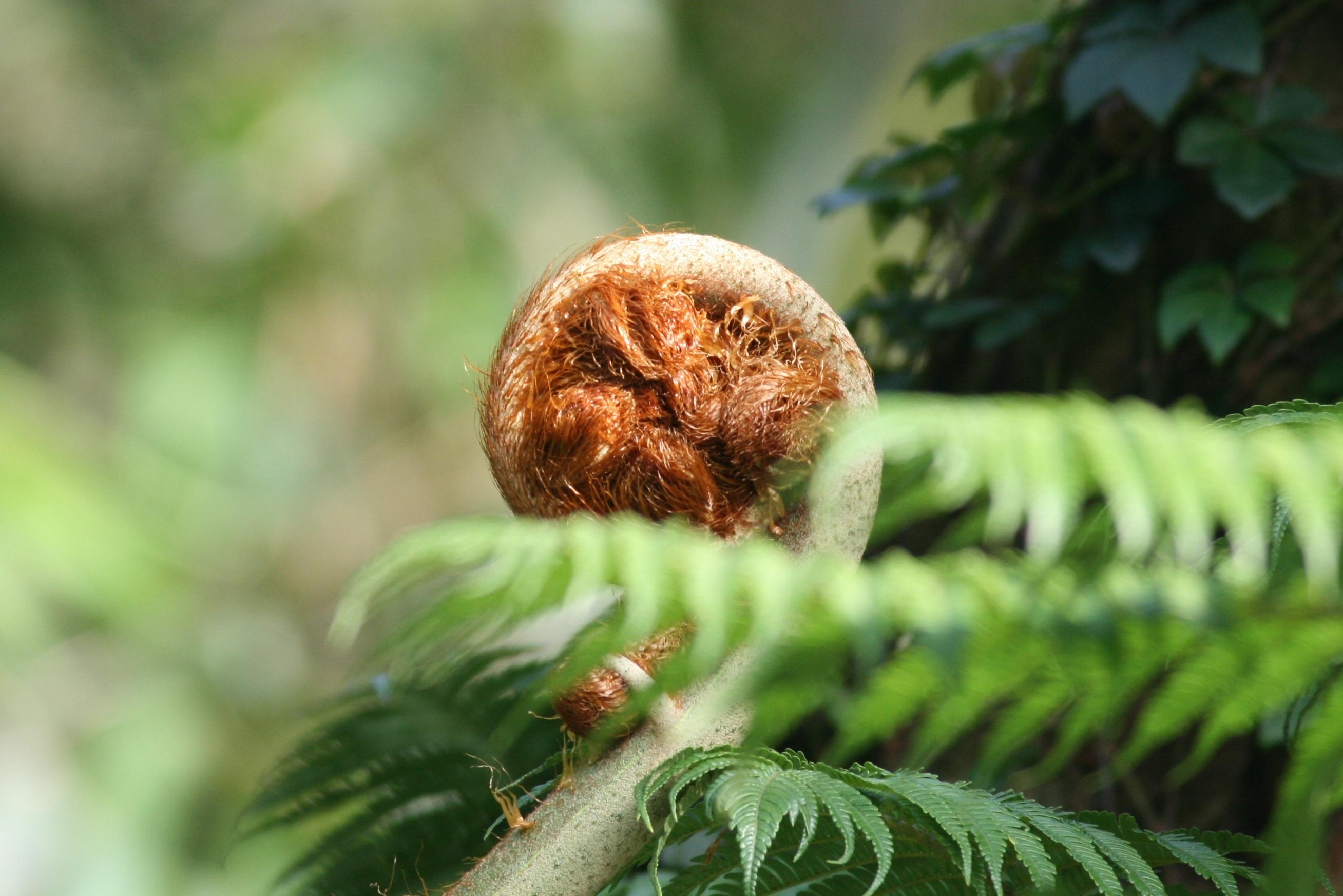 Image of <i>Sphaeropteris lepifera</i>