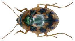 Image of <i><i>Omophron</i></i> (Omophron) <i>limbatum</i> (Fabricius 1777)