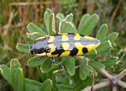 Image of Banksia Jewel Beetle