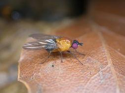 Image of <i>Sapromyza sciomyzina</i> Schiner 1868