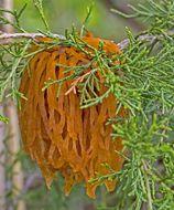 Image of Cedar apple rust