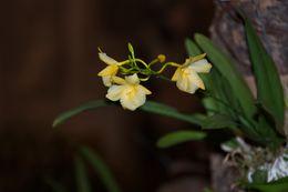 Image of <i>Broughtonia sanguinea</i> var. <i>aurea</i>