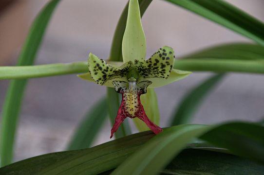 Image of <i>Cymbidiella pardalina</i> (Rchb. fil.) Garay
