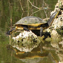 Image of Florida Chicken Turtle