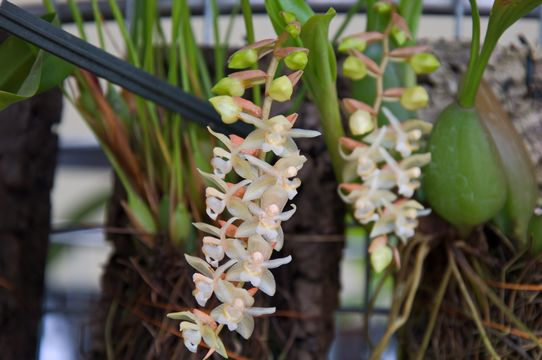 Image of Rattlesnake Orchid