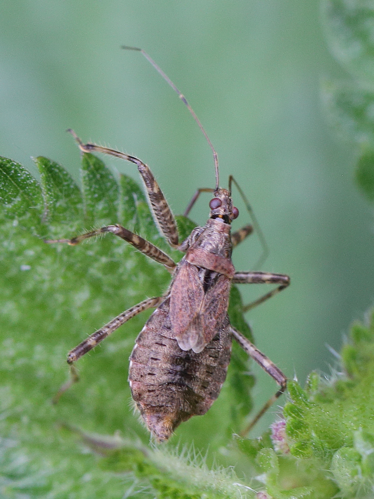 Image of <i>Himacerus mirmicoides</i> (O. Costa 1834) O. Costa 1834