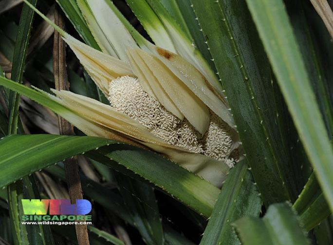 Image of Tahitian screwpine