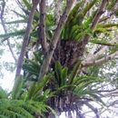 Image of <i>Asplenium australasicum</i>